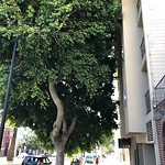 Tree Maintenance at 140 Dolores St