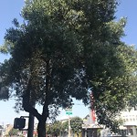 Tree Maintenance at 2947 Geary Blvd